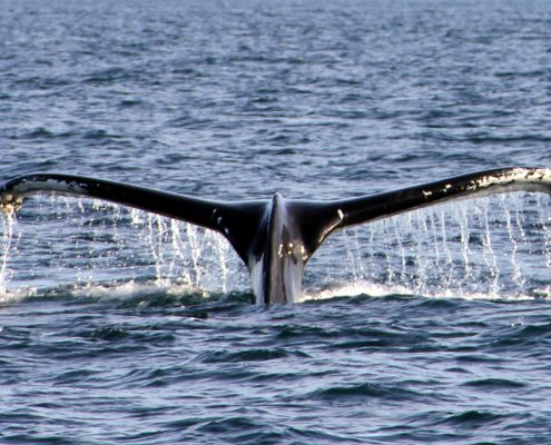 Humpback Whale Tail Baltimore West Cork Ireland stay at Seafort Luxury Hideaway